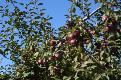manzanas en su estado natural