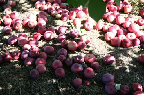 Manzanas maduras que caen sobre el piso